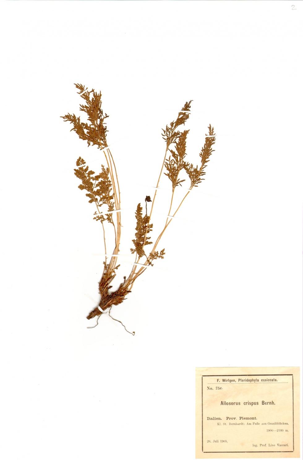 Krauser Rollfarn - Cryptogramma crispa (L.) R. Br. ex Hook.